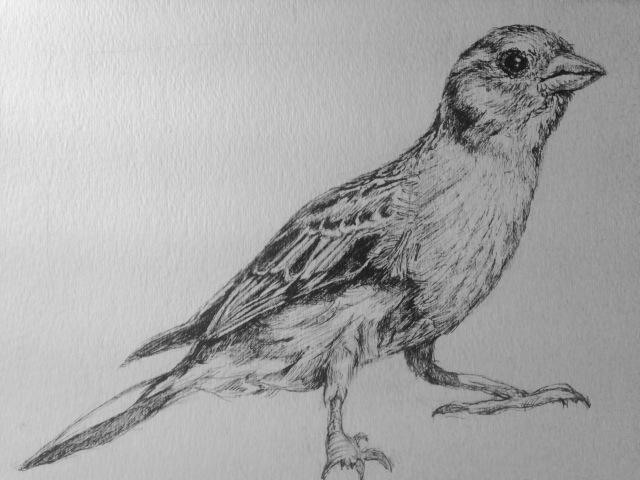 Bird Pen Drawing